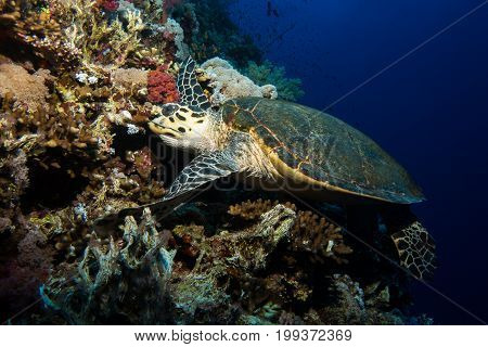 Turtle in the red sea in egypt