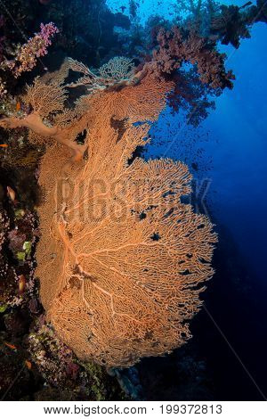 gorgonian coral in the red sea in egypt