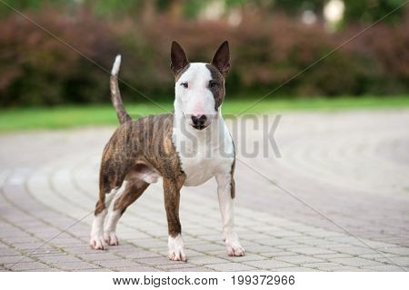 brindle english bull terrier dog posing outdoors in summer