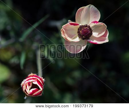 Red fresh blooming anemone coronaria flower an small flower pud