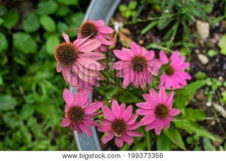 whitered purple flowers in a pot in urban garden