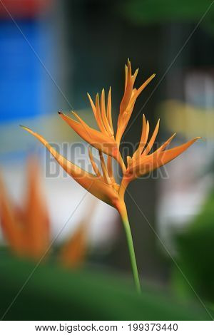 Tropical flower common name of the genus is Bird of paradise flower Strelitzia is a genus of five species of perennial plants