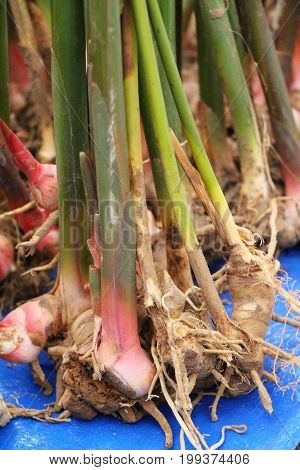Fresh galangal for cooking in the market