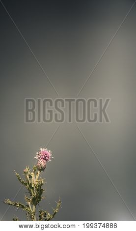Scottish Thistle Against A Stormy Rainy Sky With Copy Space