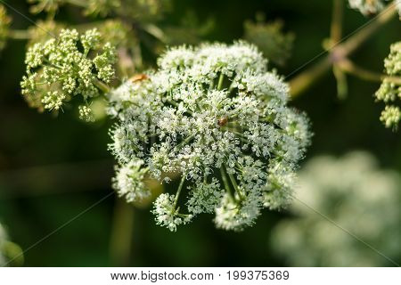Flower of a poisonous biennial herbaceous flowering plant - Conium maculatum.