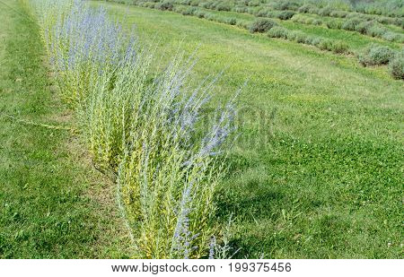 Row of lavender flowers in field mauve purple Lavandula lavender commonly known as English lavender garden in the mint family Lamiaceae