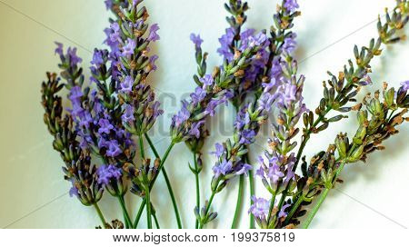 Beautiful lavender flower selective focus on white background indoors, conceptual of when to pick English lavender flowers for drying, conceptual photography of health and healing herbs and aromatherapy relaxation and self care card or poster