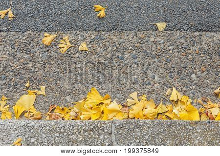 Close-up Ginkgo Biloba yellow leaf (ginkgo gingko maidenhair tree) in Autumn season on the road in Kyoto Japan top view concept of autumn texture background.