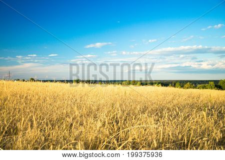 Rye field and blue sky with clouds. Agricultural background with ripe spikelets of rye.