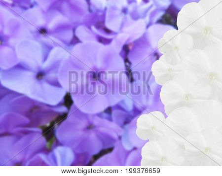 Background from flowers. A white hydrangea on an indistinct background from violet hydrangeas