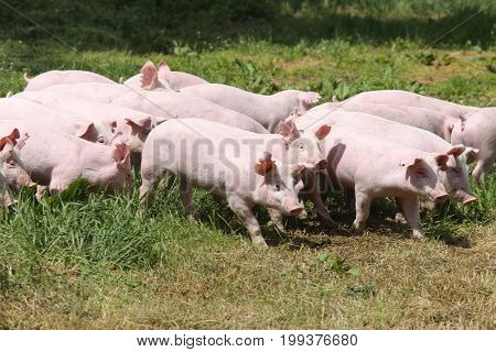 Little pigs piglets graze free on the farm summertime. Group of small pigs eating fresh green grass on the meadow. Group photo of young piglets runs on green grass near the farm