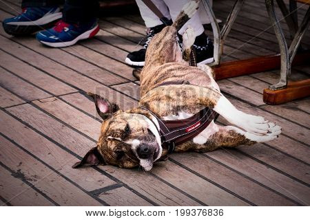 Lazy dog (Staffordshire Terrier) rolling on his back for a photo opportunity on a ferry going to Ambleside, Lake District, Cumbria, England.