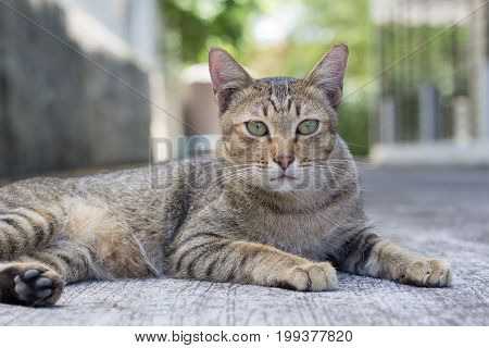 Thailand Cat lethargic. Abstract Siam cat sit on cement floor. Cat sit on white floor.
