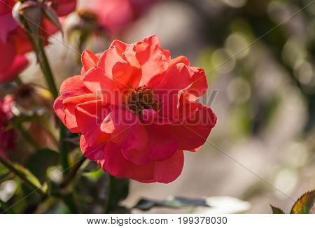 rose flower grade rosi mittermaier, one bright orange-pink-red flower in full bloom against the background of the foliage of the plant, illuminated by sunlight, summer day, close-up,