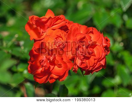 rose flower grade fidelio, group bright orange-red flower in full bloom against a background of light green foliage plants, illuminated by sunlight, summer day, close-up,