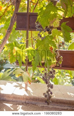 Grapevine On A Sunny Summer Day
