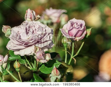 rose flower grade novalis, dense buds and one large lilac flower in bloom, pale lilac shade, growing in the garden, sunlight, summer, close-up