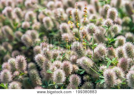 Closeup of flowering Rabbitfoot clover or Trifolium arvense in its on wild habitat on a sunny day in the Dutch summer season.
