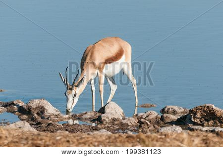 A springbok (Antidorcas marsupialis) drinking water in a waterhole in Northern Namibia