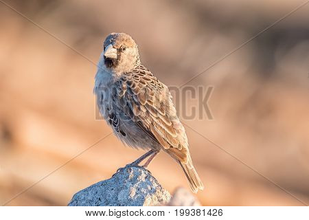 A sociable weaver Philetairus socius on a rock in Northern Namibia