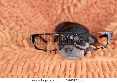 Puppy Ware Glasses And Sleeping On Soft Bed.