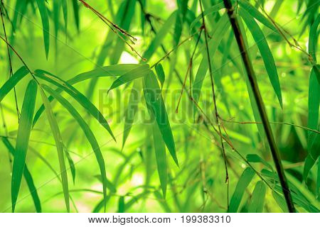 Asian Bamboo Branch  Forest With Morning Sunlight. Beautiful Green Nature Background