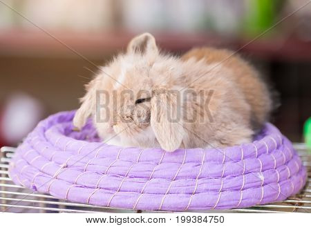 Cute Lop rabbit sitting in the basket