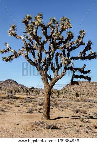 Joshua Tree - Yucca brevifolia. Joshua Tree National Park, California, USA.