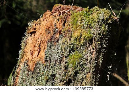 Rotting tree stump with moss  and lichen