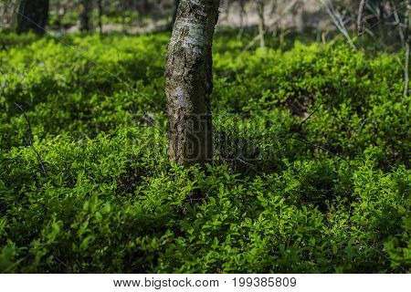 Blueberry plants surround trees in Forest in Germany