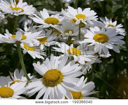 Michaelmas Daisy in flower, white petals and yellow