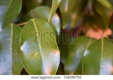 a closeup of a Ficus tree in the desert