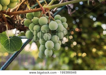 Grapevine green fruit closeup in the vineyard with summer sun glow
