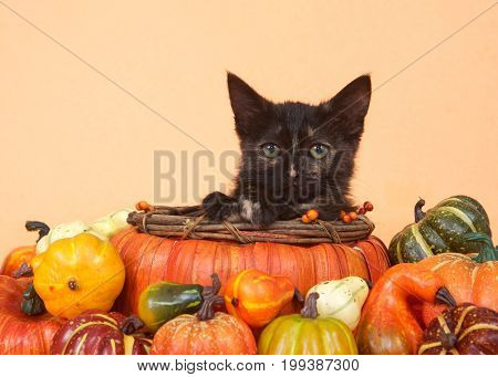 One tortie tabby kitten in a pumpkin shaped basket looking directly at viewer surrounded by miniature pumpkins squash and gourds orange table and background. Autumn harvest Thanksgiving.