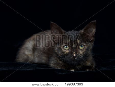 Portrait of a Tortie tabby kitten laying on a black velvet blanket looking at viewer. Copy space.