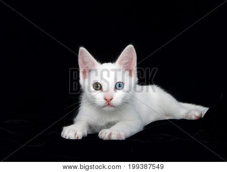 Portrait of a small white tabby kitten with heterochromia eyes laying on a soft black velvet bed surrounded by black velvet. Striking contrast as the fabric absorbs all the light around the cat.