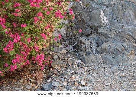 bougainvillea next to a cliff in Phoenix