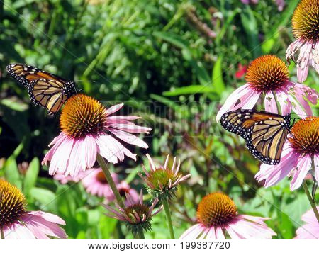 Monarch butterflies on a flower in garden on bank of the Lake Ontario in Toronto Canada August 8 2017