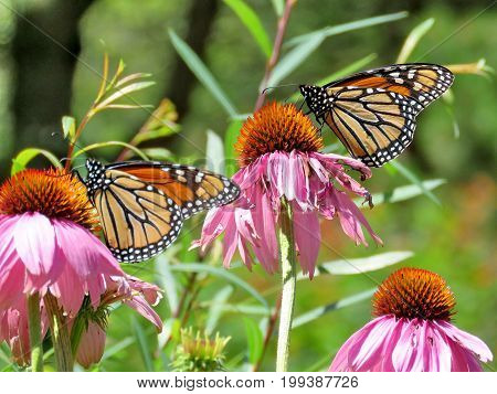 Monarch butterflies on a pink flower in garden on bank of the Lake Ontario in Toronto Canada August 8 2017