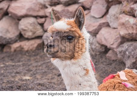 Cute llama of Altiplano Bolivia South America