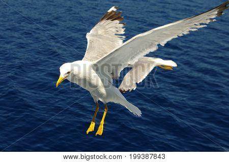 White seagulls flying over the blue sea.