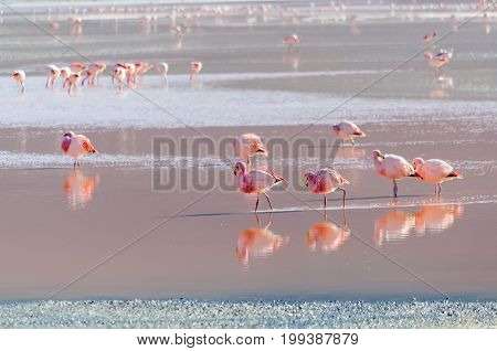 Flamingo walking in lake wildlife Altiplano Bolivia South America
