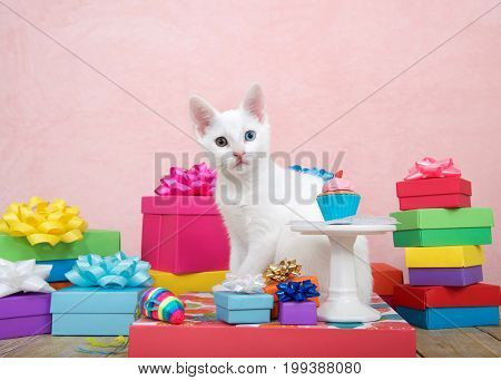 Small white kitten with heterochromia eyes sitting next to a miniature birthday cupcake on pedestal surrounded by colorful birthday presents looking at viewer curiously. Pink background