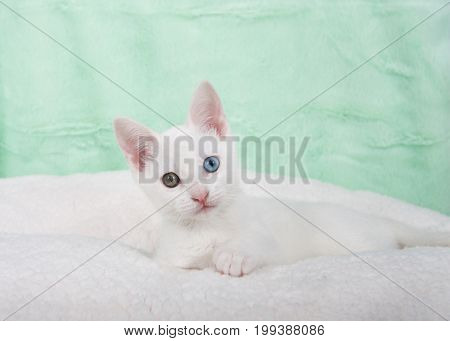 Portrait of a cute white kitten with heterochromia odd eyes laying on an off white sheepskin blanket mint green textured background