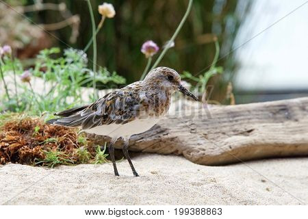 Least Sandpiper on a sandy beach with driftwood flowers and shrubbery in the background