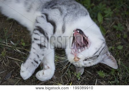 A delightful cat. New awake. yawns.Happy and peaceful