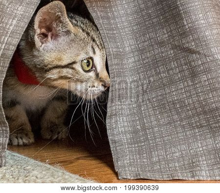 Grey small kitten hiding under bed skirt