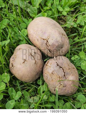 Potato Tubers Infected With Bacterial Decay