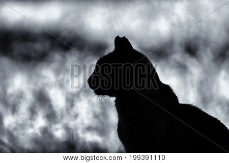 Comtemplative cat silhouette on a blurry background, black and white