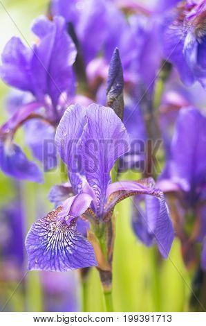A photo of  beautiful Siberian iris flowers in a garden. The alternative name of Siberian Iris is Siberian flag. Selective focus.
